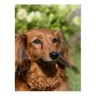 Red Long-haired Miniature Dachshund Postcard
