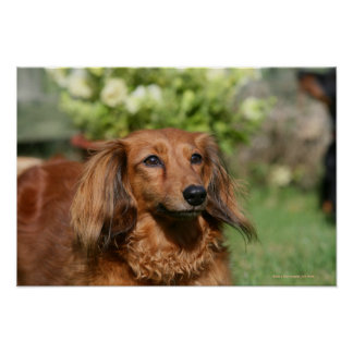 Red Long-haired Miniature Dachshund Poster