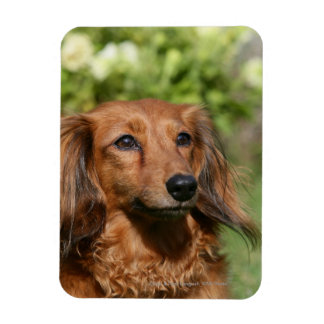Red Long-haired Miniature Dachshund Rectangular Photo Magnet