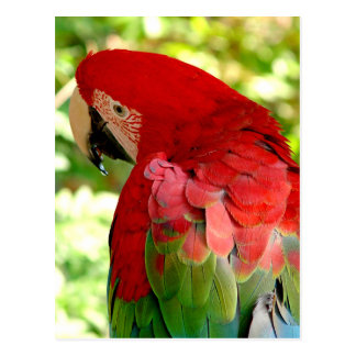 Red Macaw Parrot Postcard 2