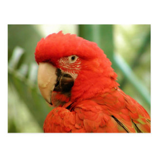 Red Macaw postcard