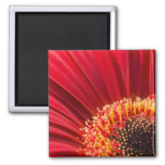 Red Macro Gerbera Daisy Flower 2 Inch Square Magnet