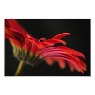 Red Macro Gerbera Flower Photo Print