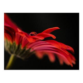 Red Macro Gerbera Flower Postcard