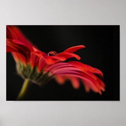 Red Macro Gerbera Flower Posters