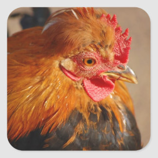 Red-male-chicken1858 ROOSTER FARM ANIMAL BIRD PHOT Square Sticker