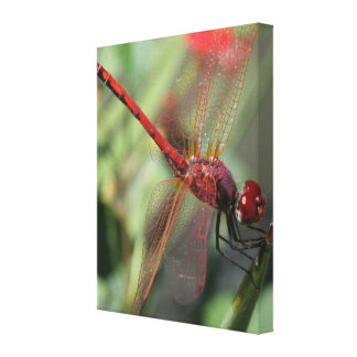 Red Male Skimmer or Firecracker Dragonfly Canvas Print
