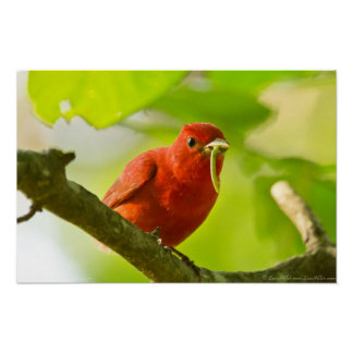 Red Male Summer Tanager Eating Caterpillar Poster