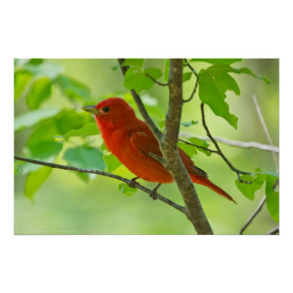 Red Male Summer Tanager in the Forest Poster