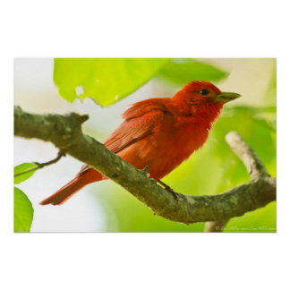 Red Male Summer Tanager on Branch Poster