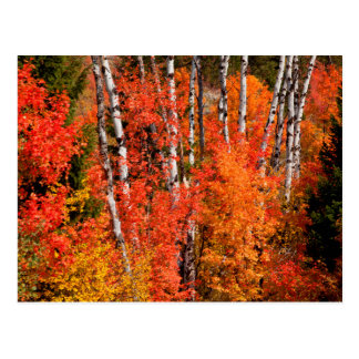 Red Maple (Acer Rubra) And Aspens Postcard
