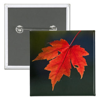 Red Maple Acer rubrum) red leaf in autumn, 2 Inch Square Button