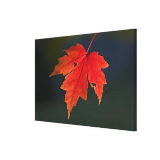 Red Maple Acer rubrum) red leaf in autumn, Gallery Wrapped Canvas