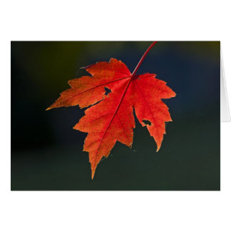 Red Maple Acer rubrum) red leaf in autumn, Card