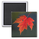 Red Maple Acer rubrum) red leaf in autumn, Magnets