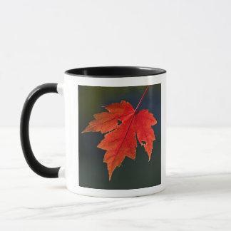 Red Maple Acer rubrum) red leaf in autumn, Mug