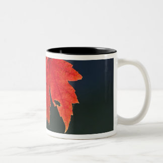 Red Maple Acer rubrum) red leaf in autumn, Mugs