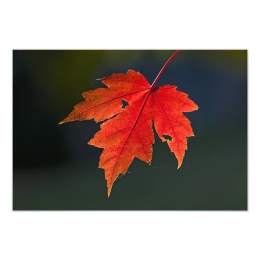 Red Maple Acer rubrum) red leaf in autumn, Photographic Print