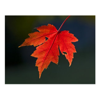 Red Maple Acer rubrum) red leaf in autumn, Postcard