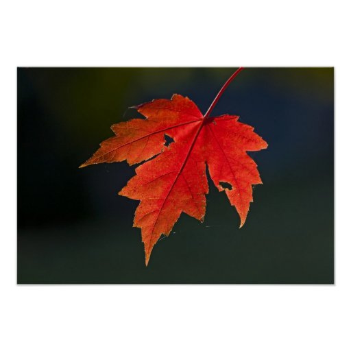 Red Maple Acer rubrum) red leaf in autumn, Print