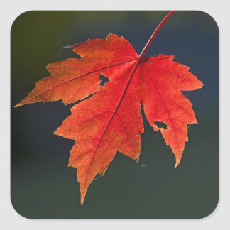 Red Maple Acer rubrum) red leaf in autumn, Square Sticker