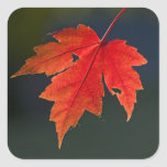 Red Maple Acer rubrum) red leaf in autumn, Sticker