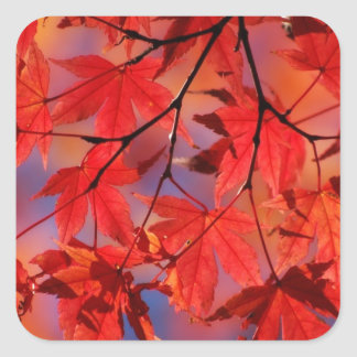Red Maple Autumn Leaves Square Sticker