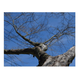 Red Maple, gone Postcard
