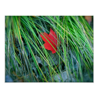 Red Maple in Green Grass Poster