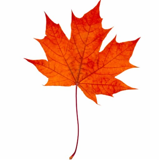 Red maple leaf photo cut out
