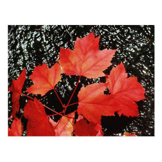 Red Maple Leaves | Autumn Home Gifts Postcard