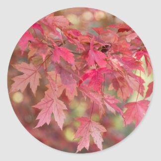Red Maple Leaves Classic Round Sticker