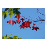 Red Maple Leaves Greeting Cards