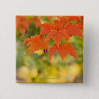 Red Maple Leaves in Autumn Button