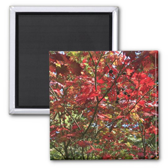 Red Maple Leaves in the Fall Magnet