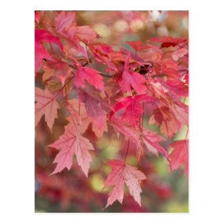 Red Maple Leaves Postcard