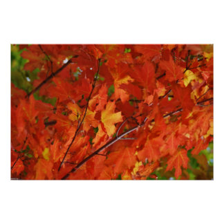 Red Maple Leaves Posters