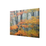 Red Maple tree, Acer rubrum, portrait in foggy Stretched Canvas Print