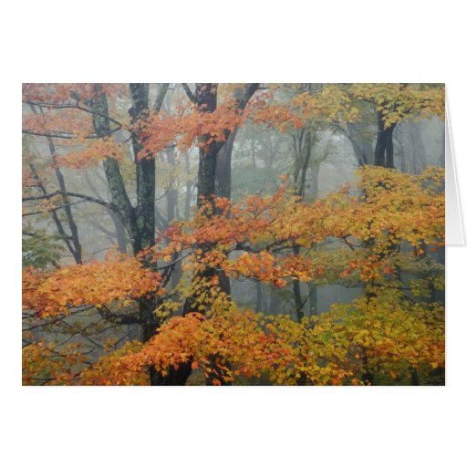 Red Maple tree, Acer rubrum, portrait in foggy Card