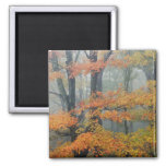 Red Maple tree, Acer rubrum, portrait in foggy Fridge Magnets