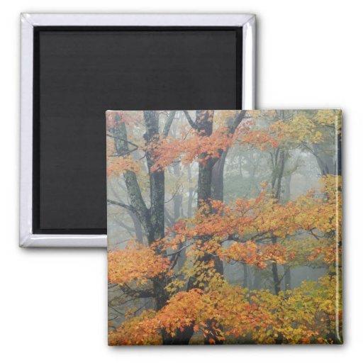 Red Maple tree, Acer rubrum, portrait in foggy Fridge Magnets