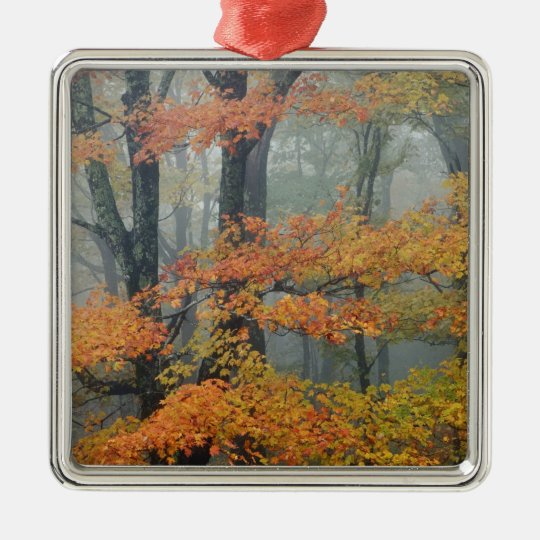 Red Maple tree, Acer rubrum, portrait in foggy Metal Ornament