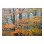 Red Maple tree, Acer rubrum, portrait in foggy Art Photo