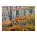 Red Maple tree, Acer rubrum, portrait in foggy Postcard