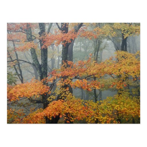 Red Maple tree, Acer rubrum, portrait in foggy Postcards