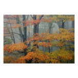 Red Maple tree, Acer rubrum, portrait in foggy Posters