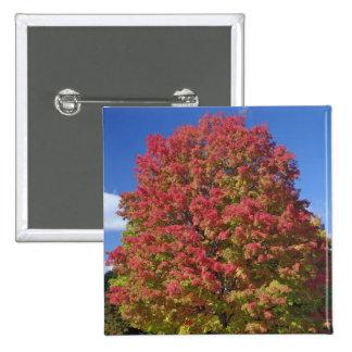 Red Maple tree in autumn colors, near Concord, 2 Inch Square Button