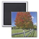Red Maple tree in autumn colors, near Concord, 2 Magnet