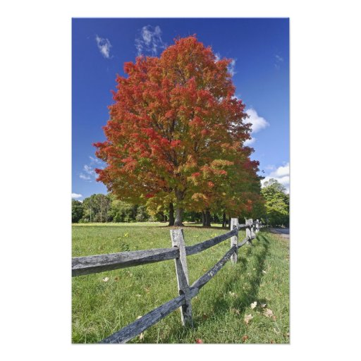 Red Maple tree in autumn colors, near Concord, 2 Photo Print