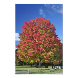Red Maple tree in autumn colors, near Concord, Art Photo
